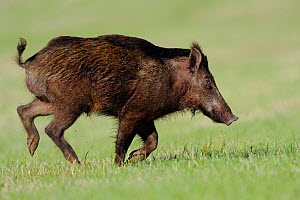 Wild boar / Domestic pig hybrid (Sus scrofa) running, Vosges, France, May - Fabrice Cahez