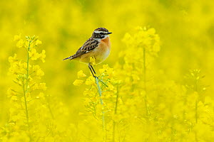 Male Whinchat (Saxicola rubetra) perched on Oil seed rape (Brassica napus) in a field, Vosges, France, April - Fabrice Cahez