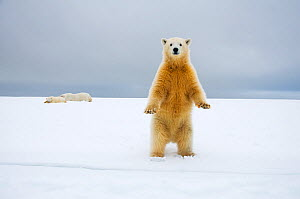 Polar bear (Ursus maritimus) curious cub stands along Bernard Spit as its mother and other cub rest in the background, 1002 area of the Arctic National Wildlife Refuge, Alaska, USA, October  -  Steven Kazlowski