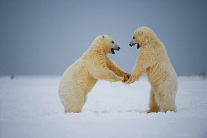 Polar bear (Ursus maritimus) pair of spring cubs play on newly formed pack ice along the arctic coast in autum, 1002 area of the Arctic National Wildlife Refuge, Alaska, Beaufort Sea, USA, sequence 1/...  -  Steven Kazlowski