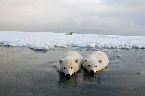 Polar bear (Ursus maritimus) pair of curious spring cubs wade in shallow waters off newly formed pack ice, mother rests behind on ice, Bernard Spit, Alaska, USA, October  -  Steven Kazlowski