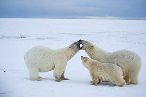 Polar bear (Ursus maritimus) pair of sows, one with a spring cub, greet one another on newly formed pack ice along the arctic coast in autumn, 1002 area of the Arctic National Wildlife Refuge, Alaska,...  -  Steven Kazlowski