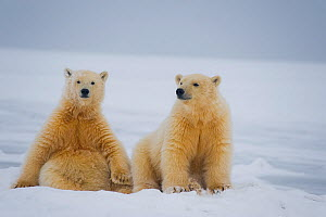 Polar bear (Ursus maritimus) pair of spring cubs sitting next to one another on newly formed pack ice, off the 1002 coastal area of the Arctic National Wildlife Refuge, Alaska, Beaufort Sea, USA, Octo...  -  Steven Kazlowski