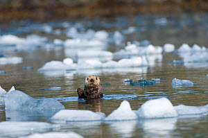 Sea otter (Enhydra lutris) grooms itself in icy waters off Columbia Glacier in Prince William Sound, Chugach National Forest, Alaska, USA, May  -  Steven Kazlowski