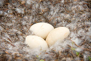 Snow goose (Chen caerulescens) eggs in a down feather nest along Kasegaluk lagoon, outside the arctic village of Point Lay, Alaska, USA, June  -  Steven Kazlowski