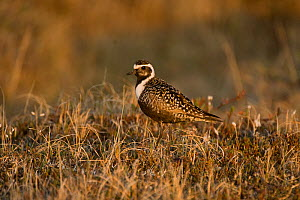 American golden plover (Pluvialis dominica) on the tundra, found along Kasegaluk lagoon and outside the arctic village of Point Lay, Alaska, USA, June  -  Steven Kazlowski