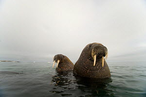 Walrus (Odobenus rosmarus) two young bulls, in waters along Spitsbergen and the northwestern coast of the Svalbard Archipelago, Norway, Arctic Ocean, July - Steven Kazlowski