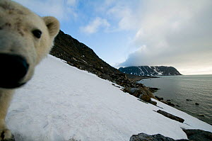 Polar bear (Ursus maritimus) curious adult investigates a remote camera along a hillside on Spitsbergen and the northwest coast of the Svalbard Archipelago, Norway, Greenland Sea, July - Steven Kazlowski