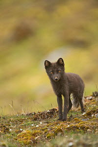 Blue phase Arctic fox (Alopex lagopus) adult vixen searches for food along the northwestern coast of Spitsbergen and the Svalbard Archipelago, Norway, Arctic Ocean, July - Steven Kazlowski
