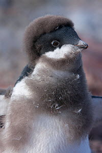 Adelie penguin (Pygoscelis adeliae) chick nearly fledged with last of down feathers but yet to show adults eye ring, Antarctica, February, Taken on location for BBC Frozen Planet series  -  Kathryn Jeffs