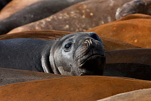 Southern elephant seal pup (Mirounga leonina), Antarctica, February, Taken on location for BBC Frozen Planet series  -  Kathryn Jeffs
