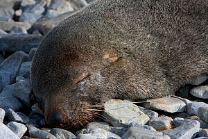 Antarctic fur seal (Arctocephalus gazella) pup fast asleep on beach, Antarctica, February, Taken on location for BBC Frozen Planet series  -  Kathryn Jeffs