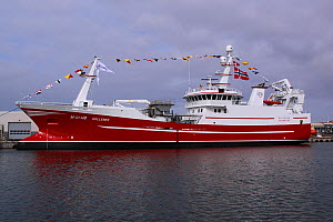 """New fishing vessel """"Gollenes"""" decorated with international code flags ahead of her naming ceremony. Skagen, Denmark, September 2011. For editorial use only. - Philip Stephen"""