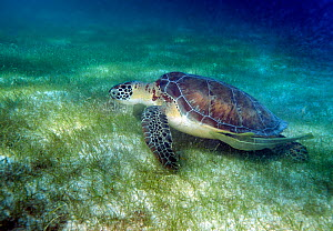 Green Sea Turtle (Chelonia mydas) swimming over seagrass. Akumal, Mexico, February. - Graham Eaton