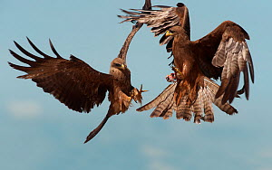 A pair of Black Kite (Milvus migrans) fighting in flight over a frog. Murchison Falls National Park, Uganda, April. - Graham Eaton