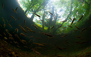 A shoal of Minnows (Phoxinus phoxinus) in a quiet tributary of the River Glaslyn. Porthmadog, Wales, July. - Graham Eaton