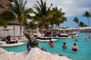 Black Iguana / Ctenosaur (Ctenosaura similis) by resort swimming pool. Playa del Carmen, Mexico, February.  -  Graham Eaton