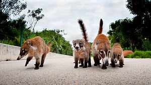 White-nosed Coati (Nasua narica) family walking along a road. Playa del Carmen, Mexico, Fabruary.  -  Graham Eaton