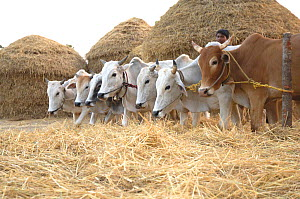 Domesticated oxen (Bos indicus) threshing rice crop, rural Madhya Pradesh, India  -  Michael W. Richards