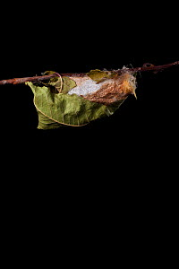 Indian moon  / Indian luna moth (Actias selene) emerging from cocoon, sequence 1 of 25. Captive.  -  Alex Hyde