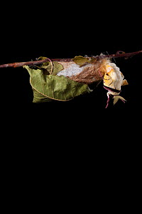 Indian moon  / Indian luna moth (Actias selene) emerging from cocoon, sequence 3 of 25. Captive.  -  Alex Hyde