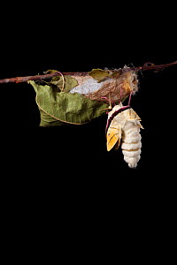 Indian moon  / Indian luna moth (Actias selene) emerging from cocoon, sequence 4 of 25. Captive.  -  Alex Hyde