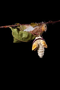 Indian moon  / Indian luna moth (Actias selene) emerging from cocoon, sequence 5 of 25. Captive.  -  Alex Hyde