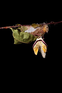 Indian moon  / Indian luna moth (Actias selene) emerging from cocoon, sequence 6 of 25. Captive.  -  Alex Hyde