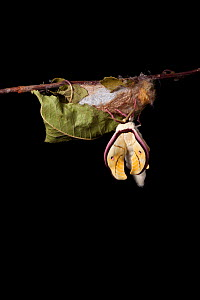 Indian moon  / Indian luna moth (Actias selene) emerging from cocoon, sequence 7 of 25. Captive.  -  Alex Hyde
