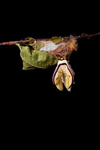 Indian moon  / Indian luna moth (Actias selene) emerging from cocoon, sequence 8 of 25. Captive.  -  Alex Hyde