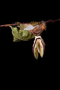 Indian moon  / Indian luna moth (Actias selene) emerging from cocoon, sequence 9 of 25. Captive.  -  Alex Hyde