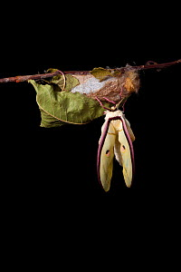 Indian moon  / Indian luna moth (Actias selene) emerging from cocoon, sequence 10 of 25. Captive.  -  Alex Hyde