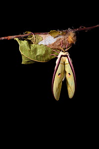 Indian moon  / Indian luna moth (Actias selene) emerging from cocoon, sequence 11 of 25. Captive.  -  Alex Hyde