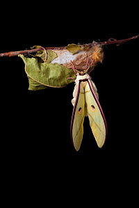 Indian moon  / Indian luna moth (Actias selene) emerging from cocoon, sequence 12 of 25. Captive.  -  Alex Hyde