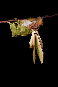 Indian moon  / Indian luna moth (Actias selene) emerging from cocoon, sequence 13 of 25. Captive.  -  Alex Hyde