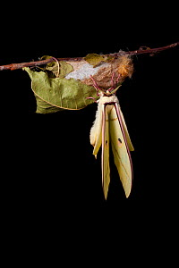 Indian moon  / Indian luna moth (Actias selene) emerging from cocoon, sequence 14 of 25. Captive.  -  Alex Hyde
