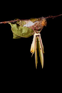 Indian moon  / Indian luna moth (Actias selene) emerging from cocoon, sequence 15 of 25. Captive.  -  Alex Hyde