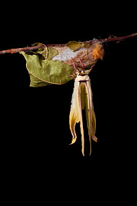 Indian moon  / Indian luna moth (Actias selene) emerging from cocoon, sequence 18 of 25. Captive.  -  Alex Hyde