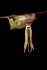 Indian moon  / Indian luna moth (Actias selene) emerging from cocoon, sequence 20 of 25. Captive.  -  Alex Hyde