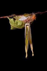 Indian moon  / Indian luna moth (Actias selene) emerging from cocoon, sequence 22 of 25. Captive.  -  Alex Hyde