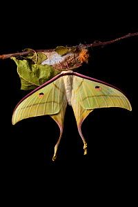 Indian moon  / Indian luna moth (Actias selene) emerging from cocoon, sequence 23 of 25. Captive.  -  Alex Hyde