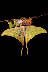 Indian moon  / Indian luna moth (Actias selene) emerging from cocoon, sequence 24 of 25. Captive.  -  Alex Hyde