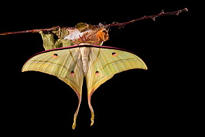 Indian moon  / Indian luna moth (Actias selene) emerging from cocoon, sequence 25 of 25. Captive.  -  Alex Hyde
