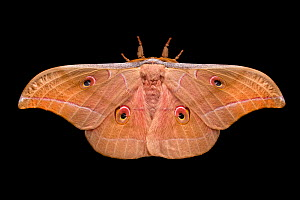 Assam silkmoth (Antheraea assamensis) male, photographed on a black background, originating from India, Burma and Sundaland, Captive.  -  Alex Hyde
