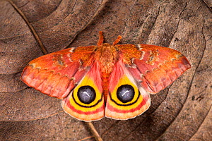 Bullseye / Io moth (Automeris io) showing eye spot markings on wings during deimatic display to deter predators, originating from North and Central America, sequence 2 of 2. Captive.  -  Alex Hyde