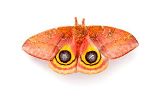 Bullseye / Io moth (Automeris io) showing eye spot markings on wings during deimatic display to deter predators, photographed on a white background, originating from North and Central America, sequenc... - Alex Hyde