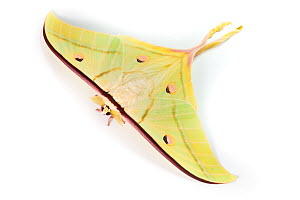 Indian moon / Indian luna moth (Actias selene) photographed on a white background. Captive. - Alex Hyde