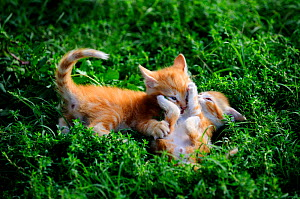 Ginger Kittens (Felis catus) playing in grass. France, September. - Eric Baccega