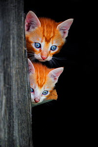 Two Ginger Kittens (Felis catus) looking past post. France, September.  -  Eric Baccega