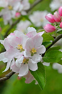 Apple tree (Malus domestica) blossom, Cox variety, UK, April - Adrian Davies